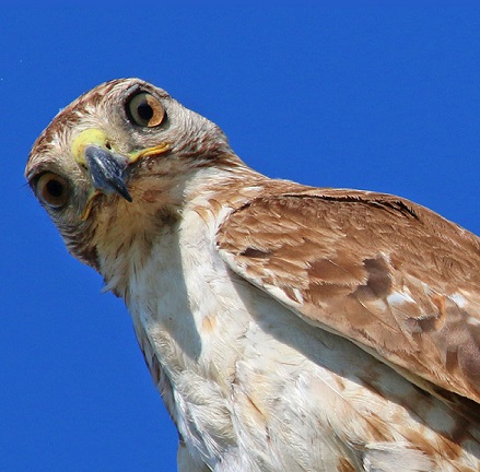 Fledgling alert! Turning a blind window for young hawk survival